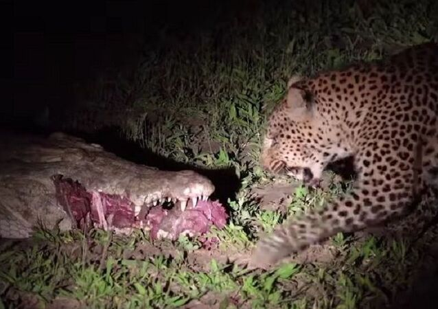 Wild Luangwa Moments - Leopard steals food from croc in South Luangwa National Park