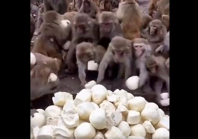 Monkeys get mantou bun
