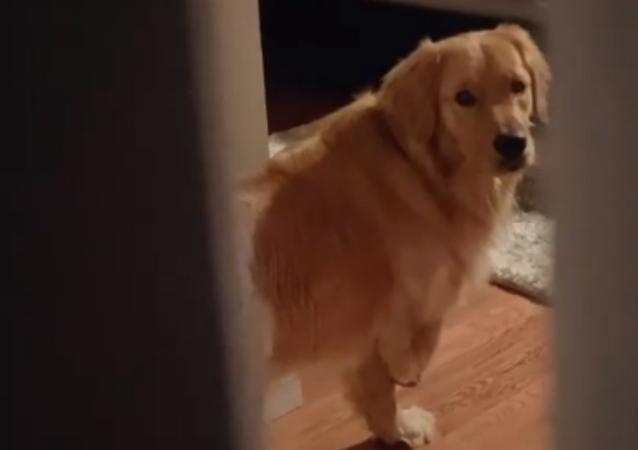 Tri-Paw Golden Retriever Plays Hide-and-Seek