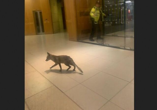 A stray fox was spotted in UK Parliament on Thursday, 6 February 2020