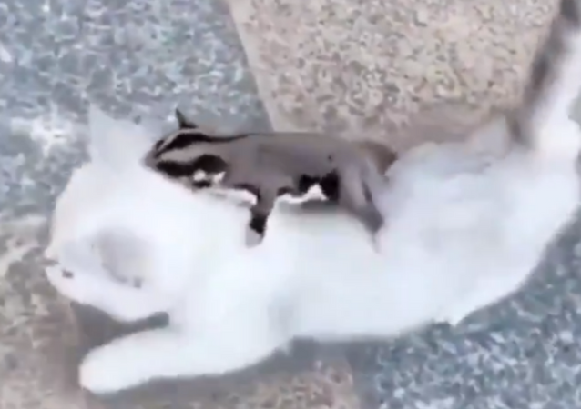 Canceled Flight: Sugar Glider Rides Kitten