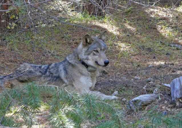 In this undated photo released by the U.S. Fish and Wildlife Service shows a dispersing wolf from the Oregon Pack OR-54, a descendent of the famous OR-7, the first wild wolf in California in nearly a century. The California Department of Fish and Wildlife says the 3- to 4-year-old female dubbed OR-54 was found on Wednesday, Feb. 5, 2020, in Shasta County, Calif. It's not clear yet whether she died by accident, naturally or was deliberately and illegally killed.