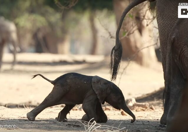 Baby Elephant Takes Its First Steps