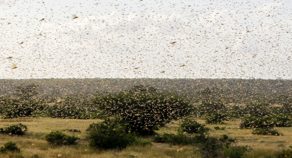 A swarm of desert locusts fly over a grazing land in Nakwamuru village, Samburu County, Kenya January 16, 2020
