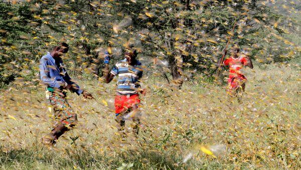 Samburu men attempt to fend-off a swarm of desert locusts flying over a grazing land in Lemasulani village, Samburu County, Kenya January 17, 2020. - Sputnik International
