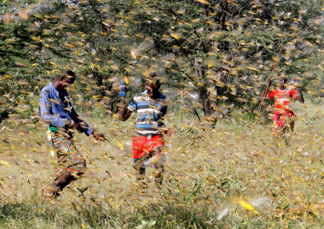 Samburu men attempt to fend-off a swarm of desert locusts flying over a grazing land in Lemasulani village, Samburu County, Kenya January 17, 2020.
