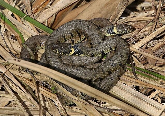 Grass snakes (Natrix natrix) mating behaviour, Otmoor RSPB Reserve, Oxfordshire