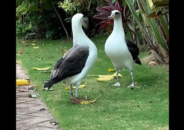 A colony of Laysan albatross