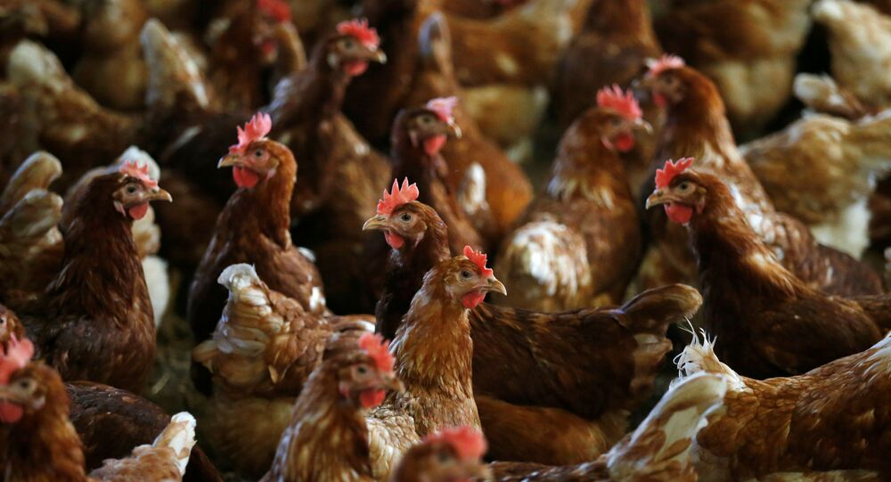 FILE PHOTO: Hens are pictured at a poultry farm in Lunteren, Netherlands, August 7, 2017. REUTERS/Francois Lenoir/File Photo