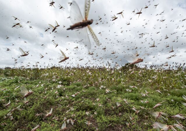 Desert locusts have swarmed into Kenya by the hundreds of millions from Somalia and Ethiopia, countries that haven't seen such numbers in a quarter-century, destroying farmland and threatening an already vulnerable region