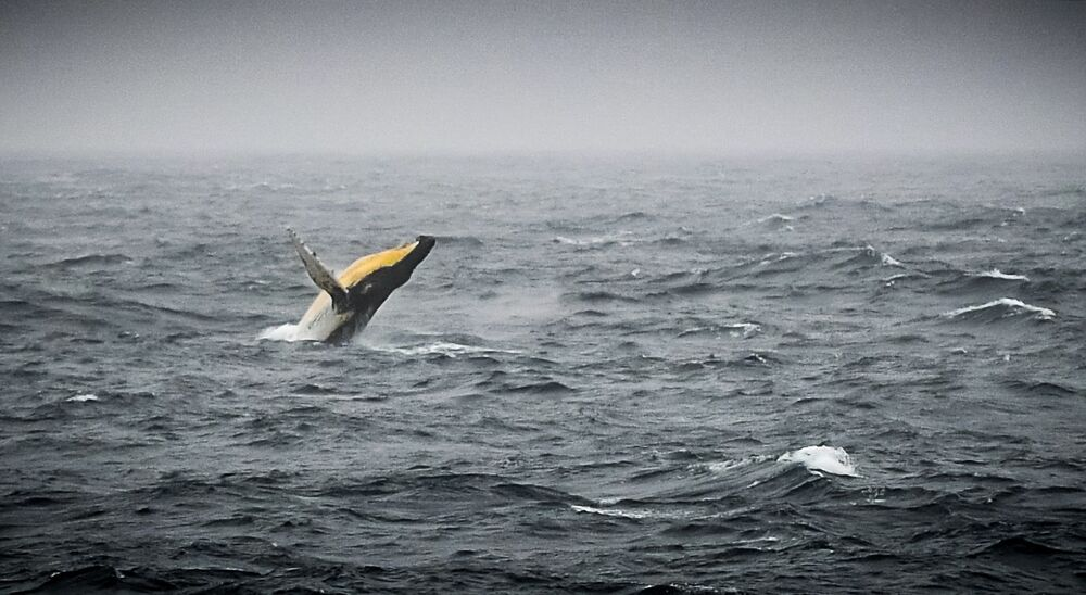 Humpback whale in the Bellingshausen Sea in the west side of the Antarctic Peninsula