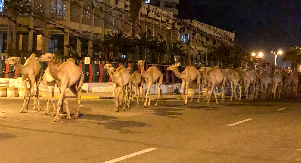 A herd of camels walk across the streets in Tripoli, Libya February 19, 2020. Picture taken February 19, 2020