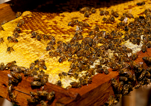 Swarm of Africanized honey bees