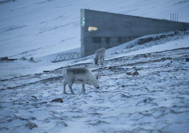 Reindeer graze in the snow near the Svalbard Global Seed Vault
