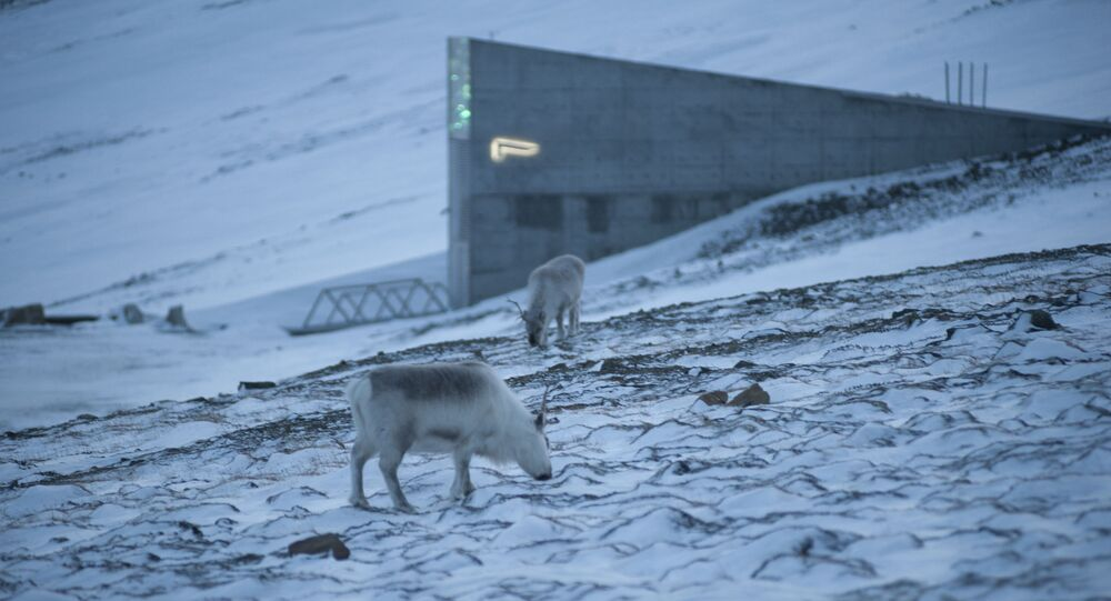 Reindeer graze in the snow near the Svalbard Global Seed Vault