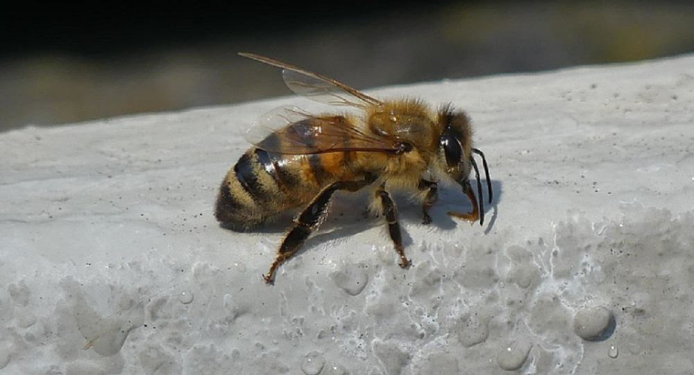 A Western honey bee drinks water from a wet stone