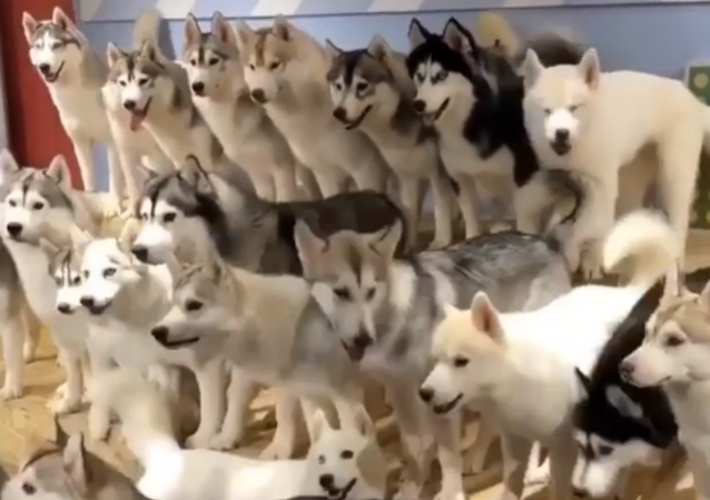 Sea of Fluff: Adorable Huskies Vie for Treats