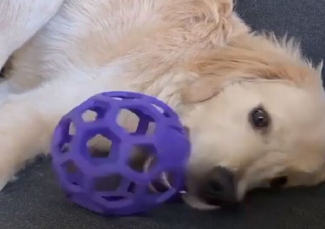 Lazy golden retriever