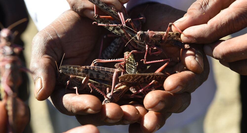 Villagers hold locusts affected by insecticides near Miyal village in Banaskantha district some 250km from Ahmedabad on 27 December 2019