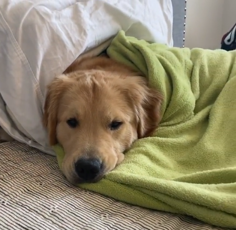 Chill and Recharge: Golden Retriever Relaxes in Bed