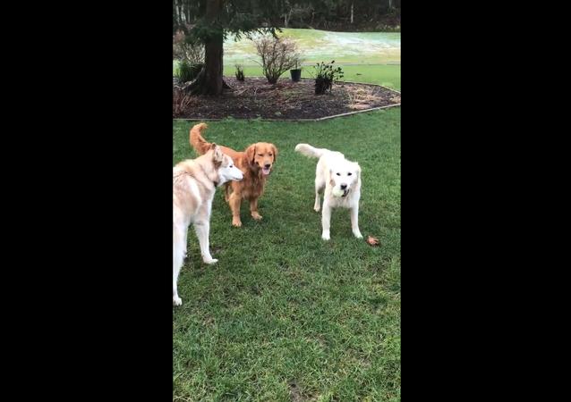 Golden Retrievers and Husky