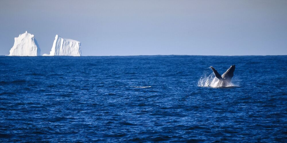 Humpback whale near Adelaide Island while sailing to Bellingshausen Antarctic Station
