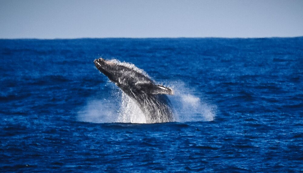 Humpback whale in the area of Adelaide Island