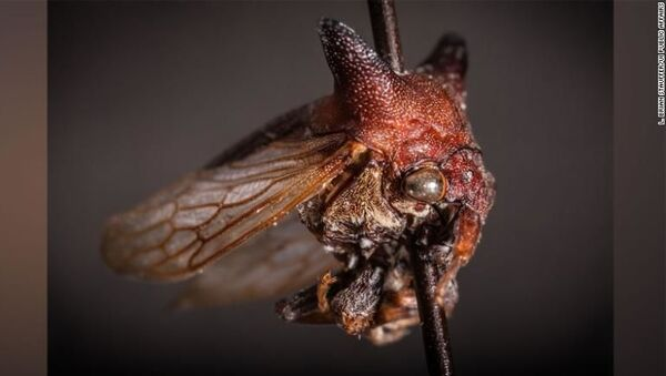 Newly Discovered Bug Species With Spiky Horns Named After Pop Star Lady Gaga - Sputnik International