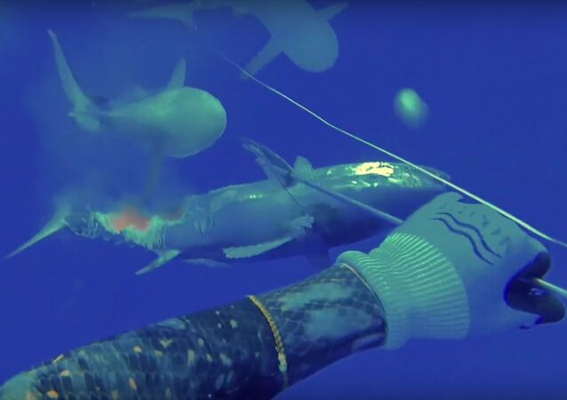 Battle Sharks for Dogtooth Tuna