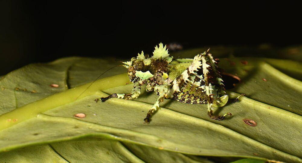 A lichen katydid nymph Trachyzulpha sp.