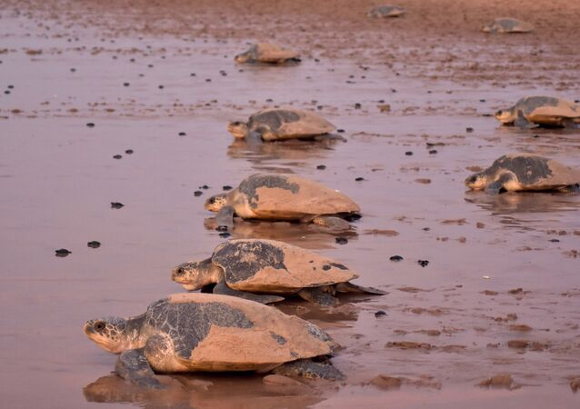 Newly-hatched baby Olive Ridley turtles are dwarfed by the larger adults as they make their way to the sea on a beach in Ganjam district in eastern India's Odisha state on April 19, 2018