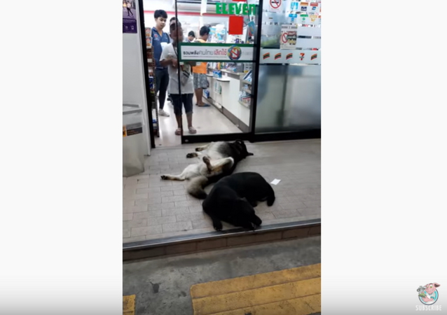 Party Animals: Tired Dogs Pass Out in Front of Grocery Store