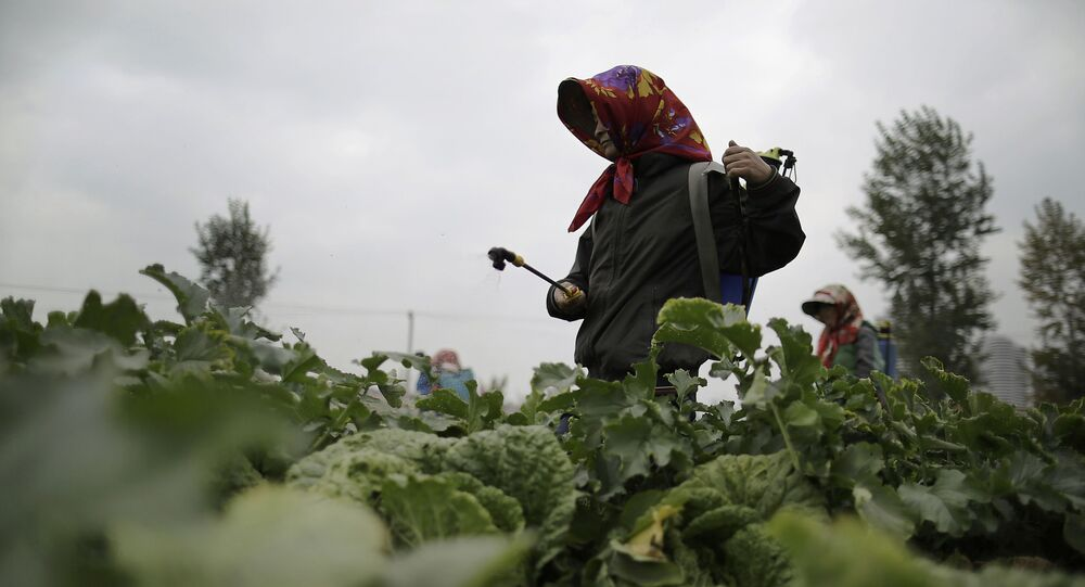 Farmers spray fertilizer on cabbage crops which will be harvested early next month and used mainly to make Kimchi at the Chilgol vegetable farm on the outskirts of Pyongyang, North Korea, Friday, Oct. 24, 2014