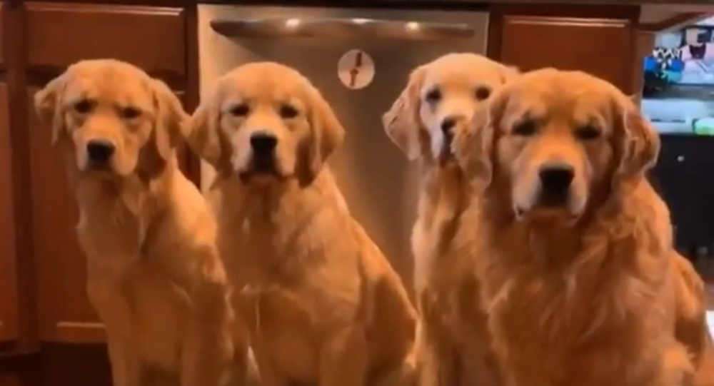 Feed Us! Group of Golden Retrievers Eagerly Anticipate Dinner