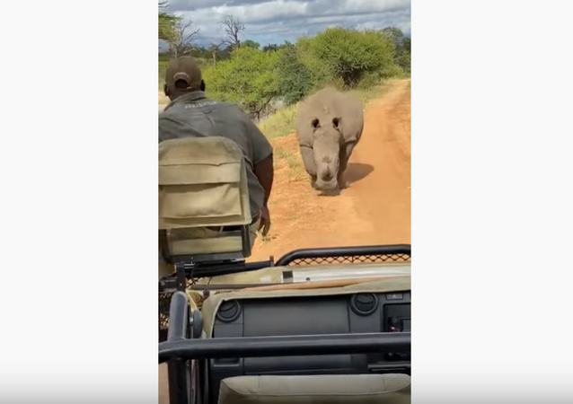 Drive Fast! South African Rhino Chases After Safari Group
