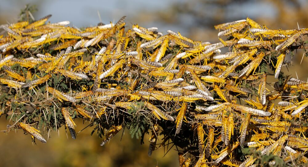 Desert locusts are seen on a tree at a ranch near the town of Nanyuki in Laikipia county, Kenya, February 21, 2020. Picture taken February 21, 2020