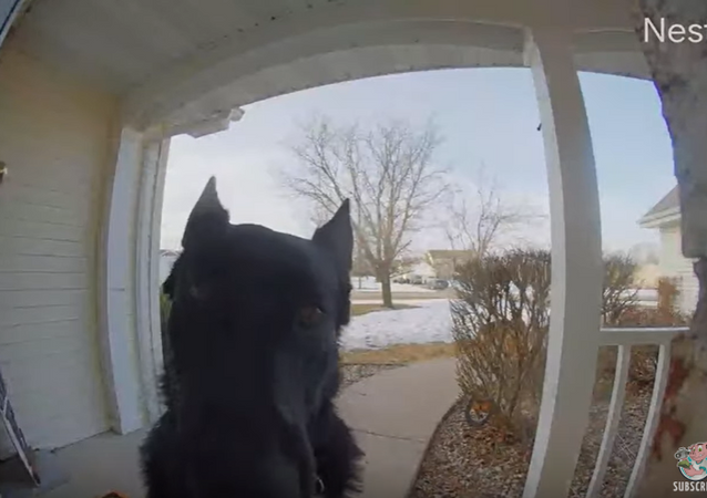 Ding Dog! German Shepherd Rings Doorbell When He Wants In