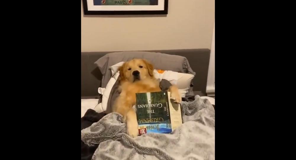 Golden Retriever Reads