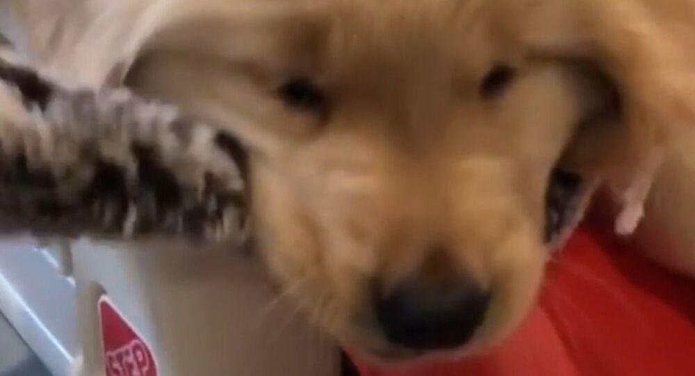 It's Mine! Golden Retriever Puppies Battle for Toy
