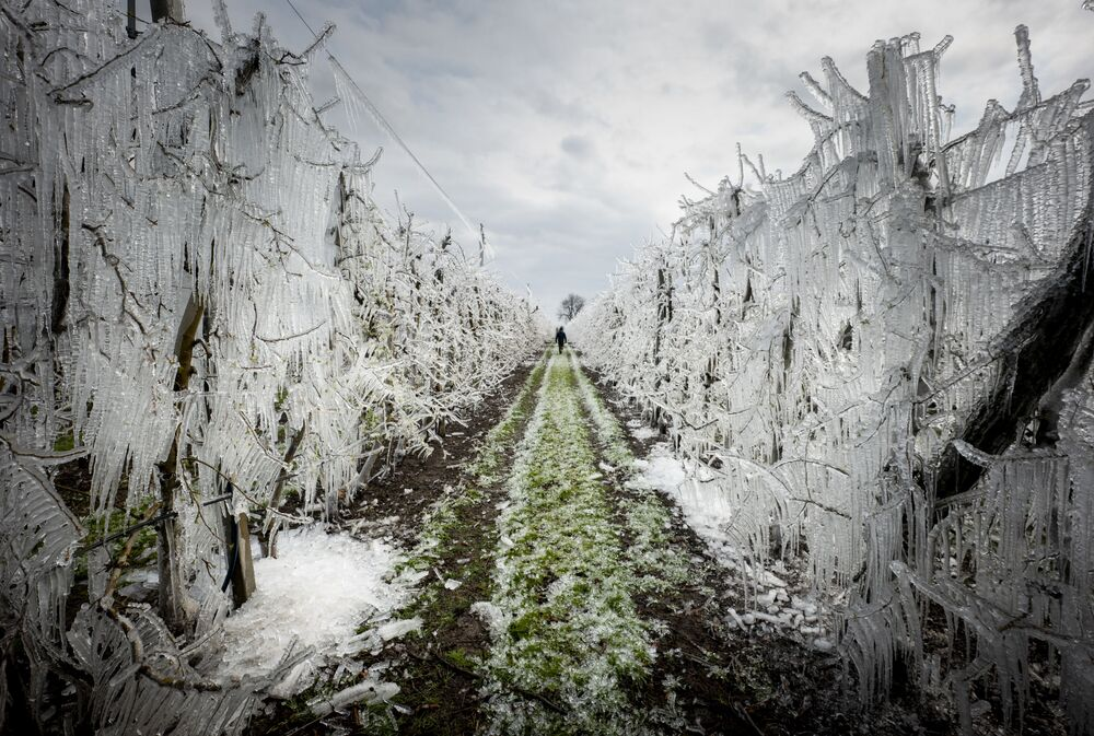 A man walks through an alley of artificially frozen apple trees covered with melting ice in an apple orchard outside the village of Miloslavov-Alzbetin Dvor near Bratislava, Slovakia, on March 25, 2020. - Apple growers protect the blooming apple flowers from the freezing during night's low temperatures by icing them with over-tree sprinkler systems.