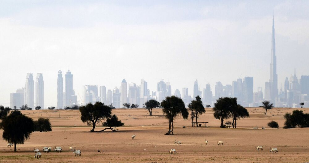 Arabian Oryx are pictured in the desert backdropped by a view of the city of Dubai in the United Arab Emirates on March 25, 2020.