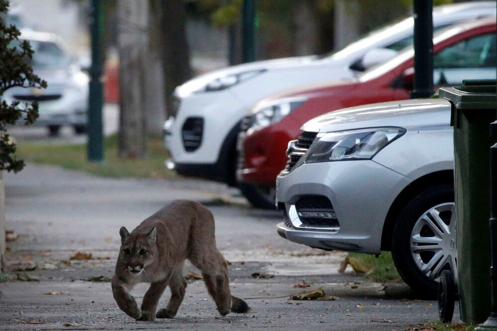 A puma walks along a street during the dawn at a neighborhood before being captured and taken to a zoo, in Santiago, Chile March 24, 2020.