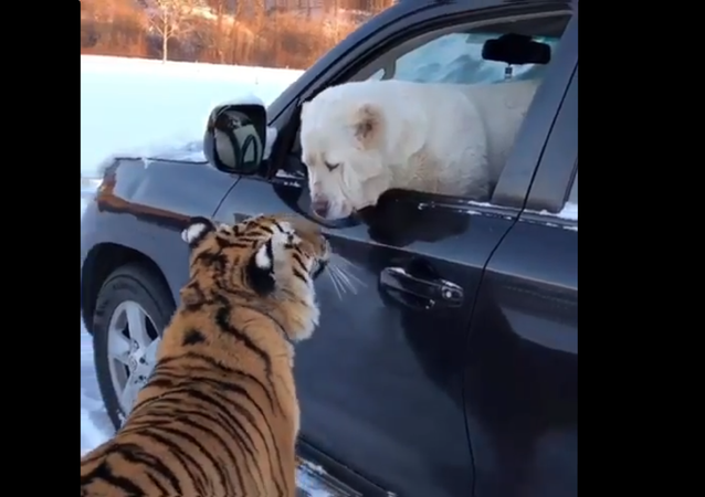 Tiger and Dog Jump in Car