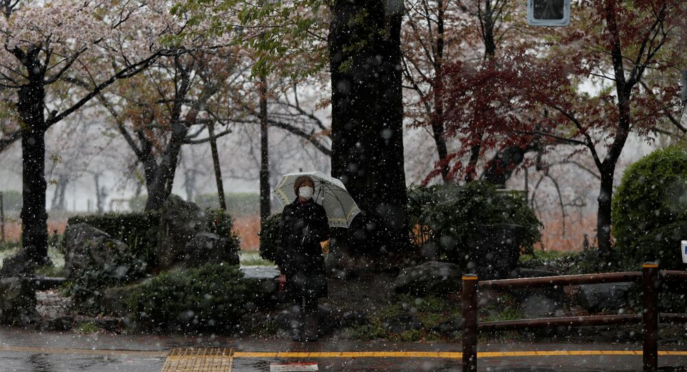 A woman wearing a protective face mask waits for a traffic signal near blooming cherry blossoms in a snow fall