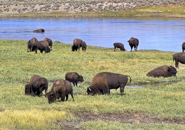 American Bison in Yellowstone National Park, Hayden Valley
