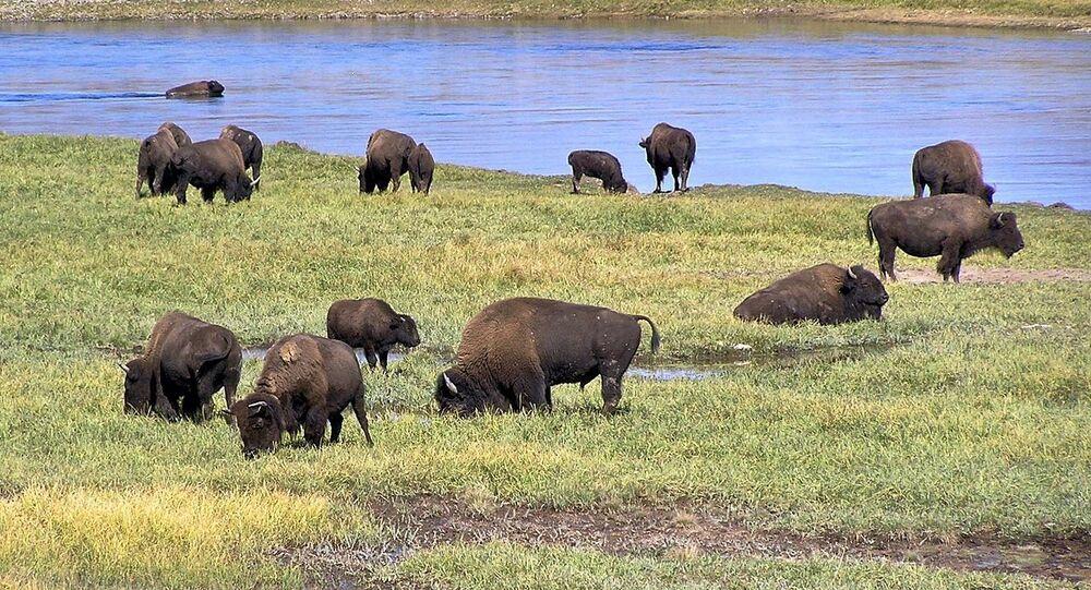 American Bison in Yellowstone National Park, Hayden Valley