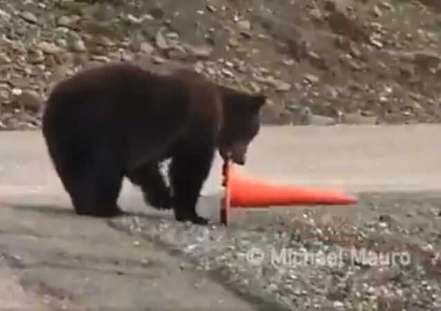 This is just a bear... being a good citizen