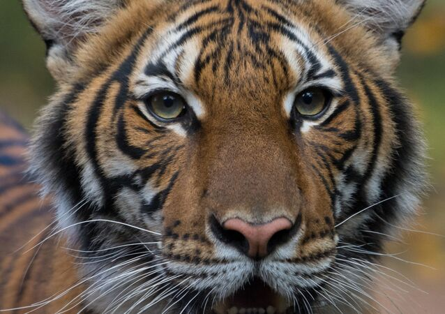 Malayan tiger Nadia who tested positive for Covid-19