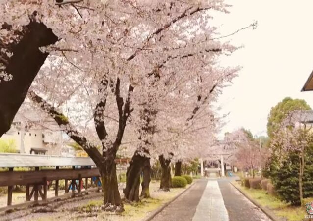 Beautiful Cherry Blossoms Bloom in Empty Streets of Japan Amid Quarantine