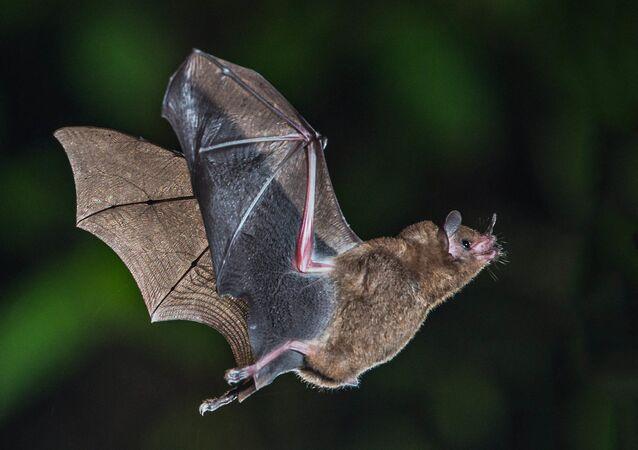 Short-tailed Fruit Bat